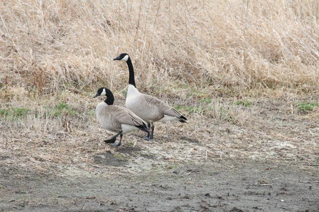 Canada Geese Pair
