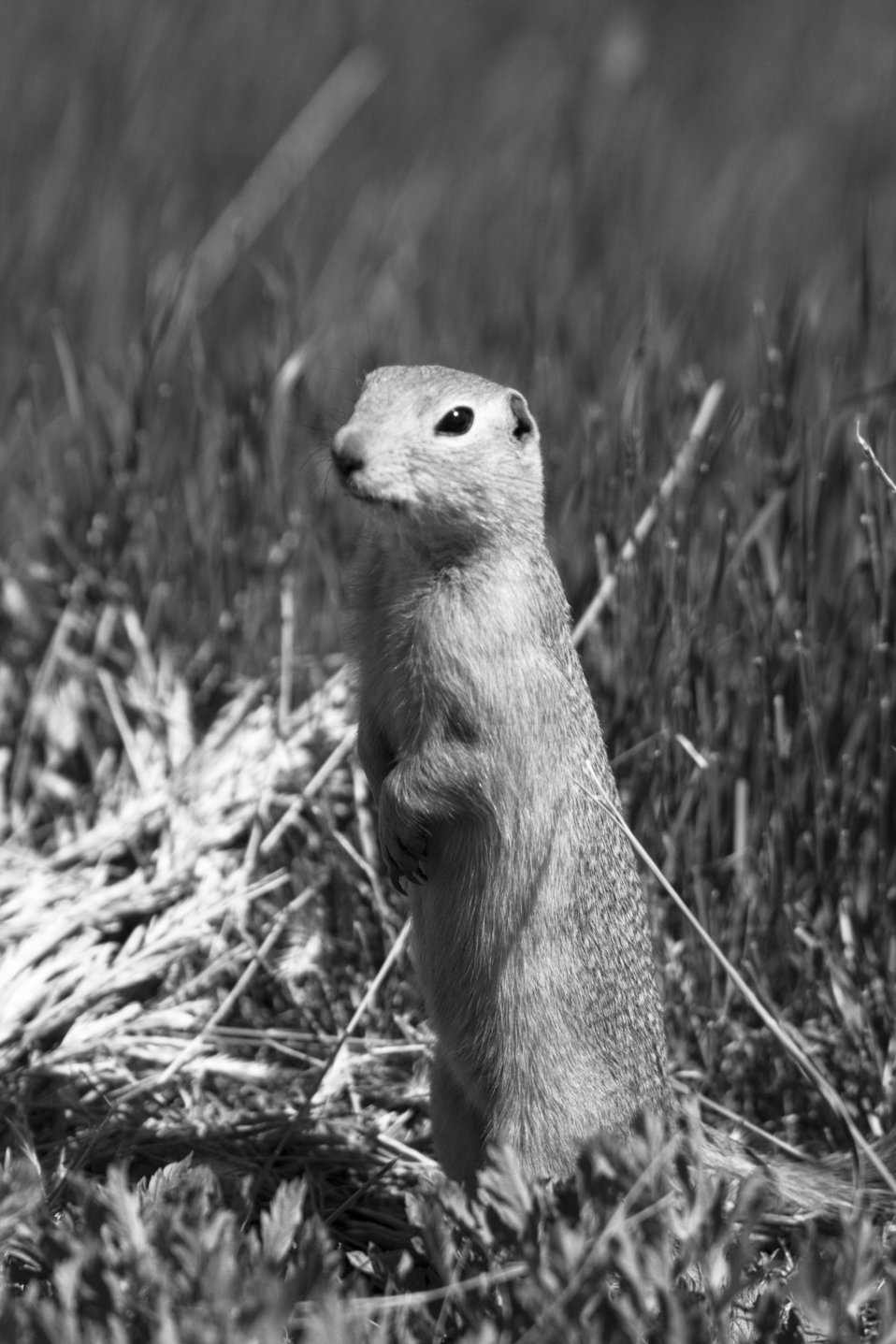 Gopher at Medicine Lake NWR