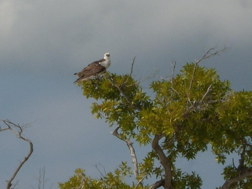 Osprey in small beachside tree