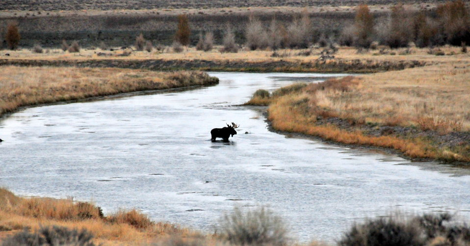 Bull Moose Crosses a side channel of Green River on Seedskadee NWR