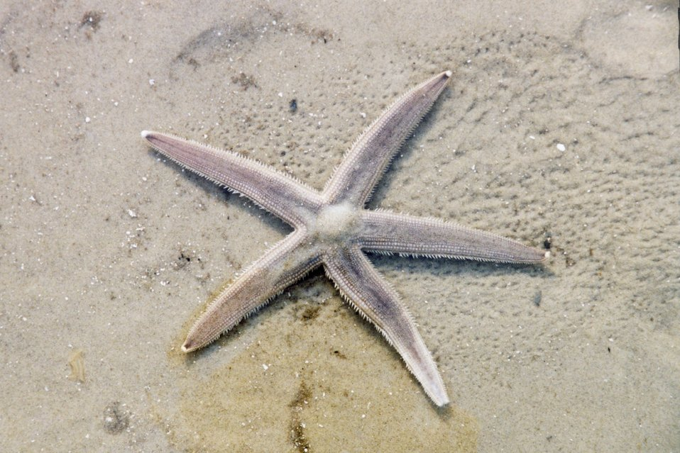 A sea star left on the beach after the tide receded.