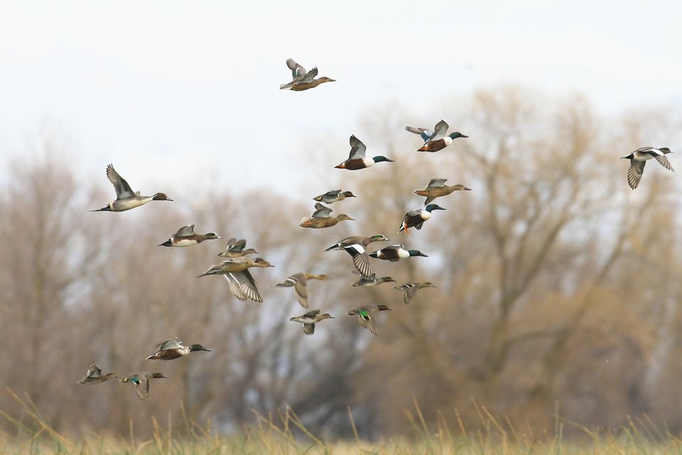 Mixed Ducks in Flight
