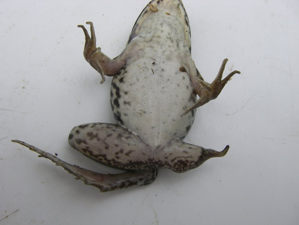 Great Swamp green frog with partially missing hindlimb