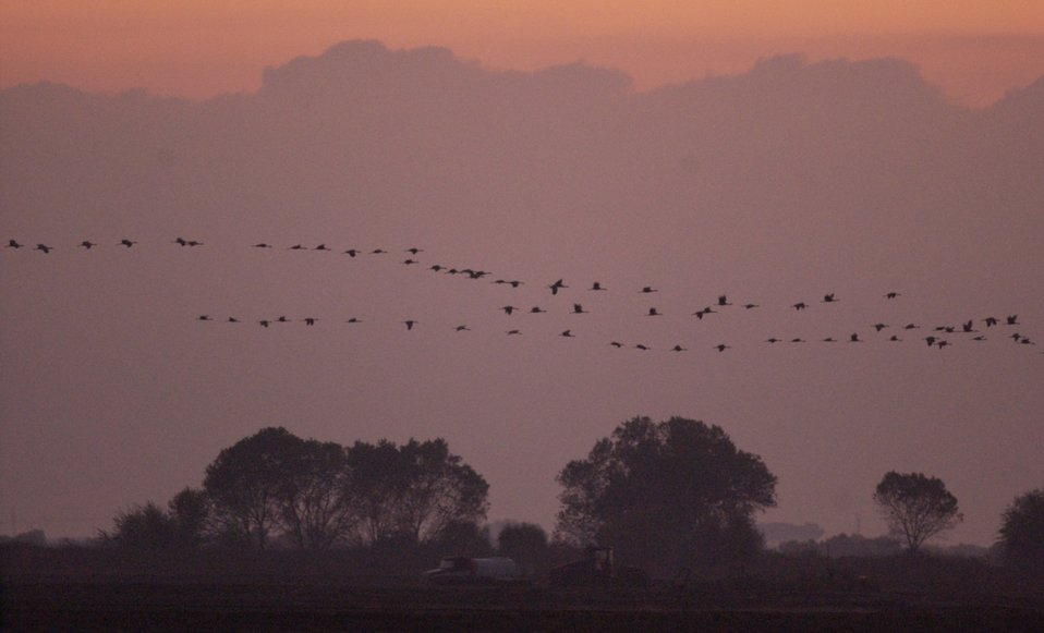 sandhill cranes at sunset, Pixley NWR