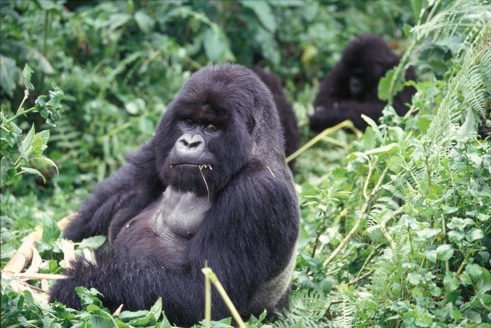 Mountain gorilla looking