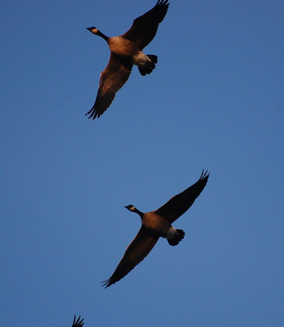 Cackling geese at Izembek Lagoon