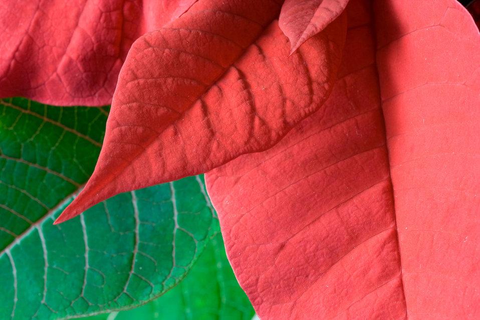 Poinsetta leaves
