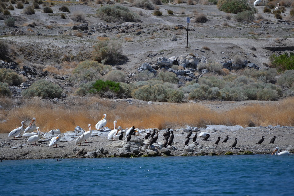 American white pelicans and other birds nesting