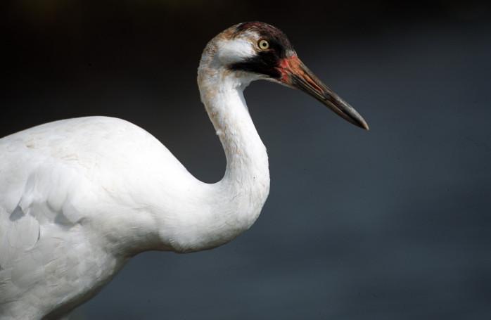 Endangered Whooping Crane (Grus americana)