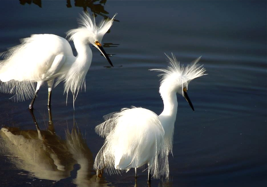 snowy egrets show off....