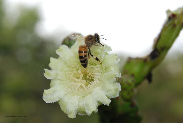 bee on Leptocerus grantianus