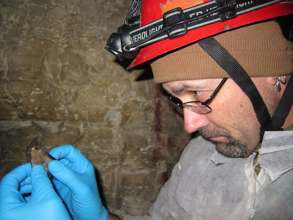 Biologist inspects northern long-eared bat with visible symptoms of WNS