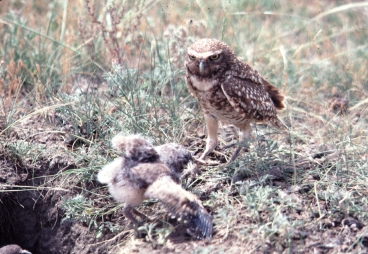 Burrowing Owl and Chick