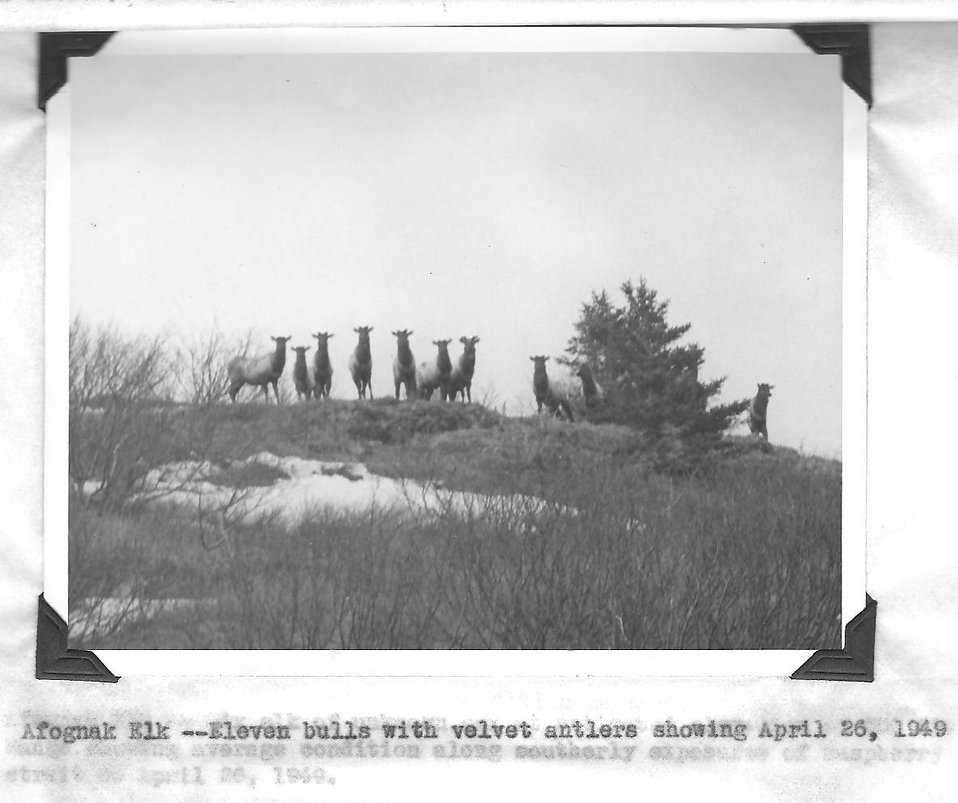 (1949) Afognak Elk