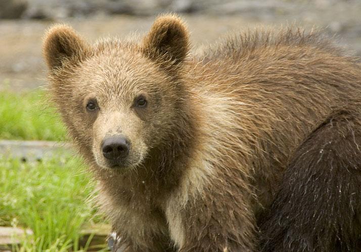 Bears of Kodiak Refuge