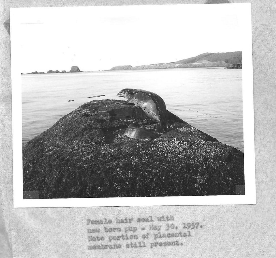 (1957) Hair Seal and Pup
