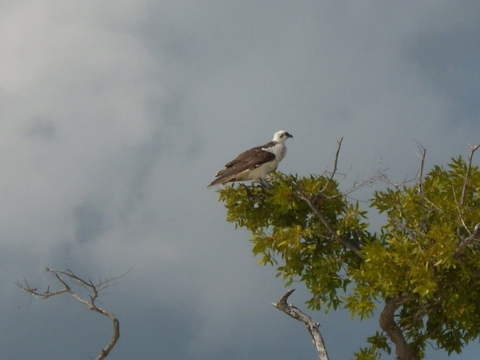 Osprey in small beachside tree