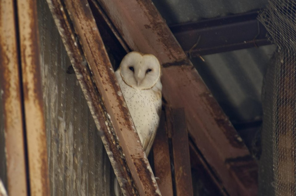 Barn Owl, Carrizo Plain 2