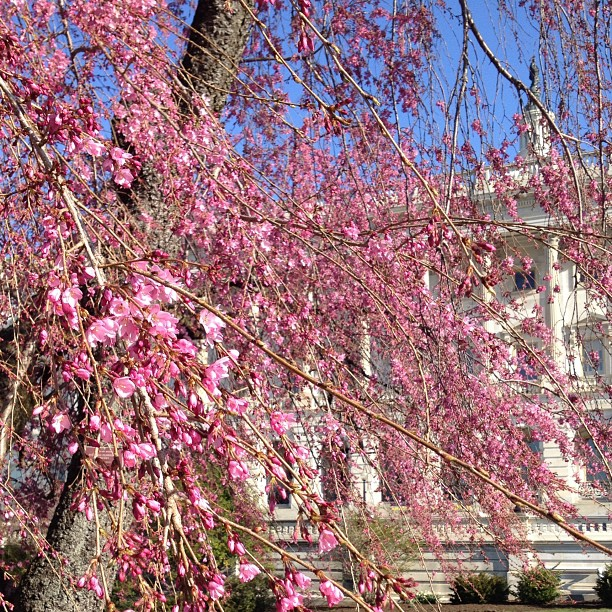 Weeping cherry flowering on cold April morning on Capitol grounds.