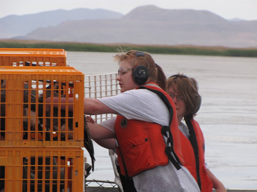 Canada geese in cages for banding