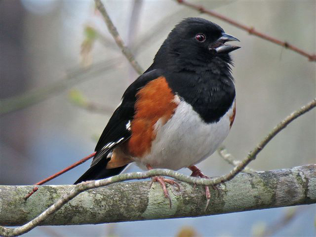 Photo of the Week - Rufous Sided Towhee (RI)