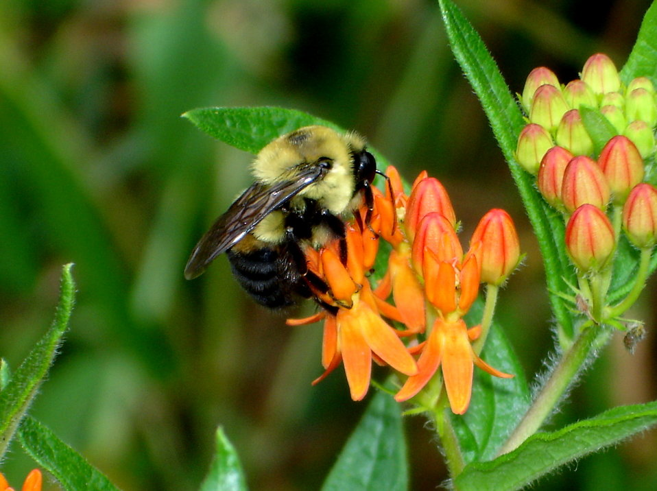 Bumblebee Butterfly Weed