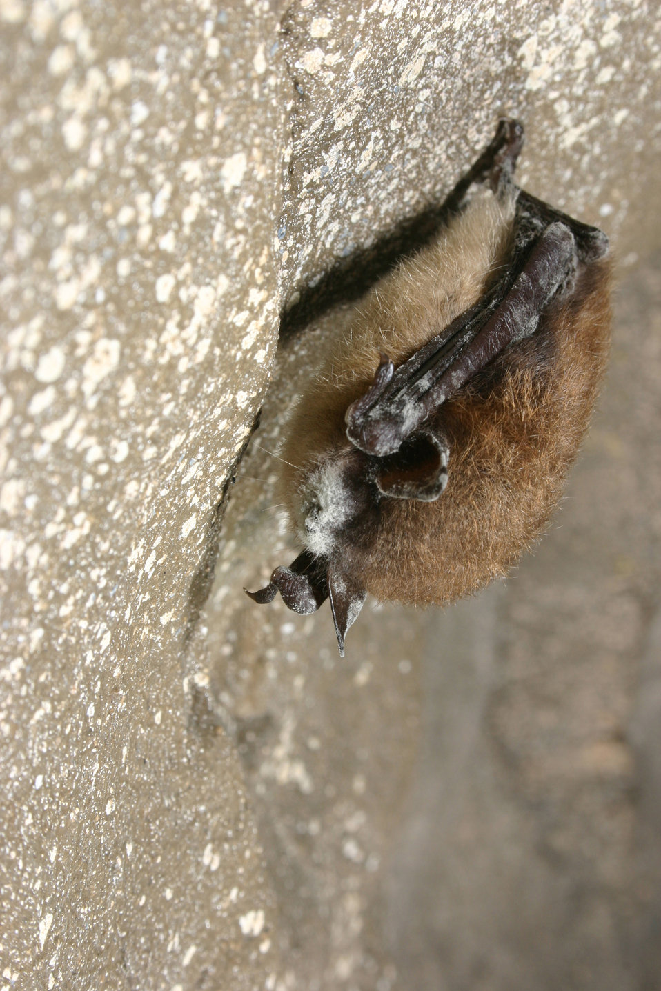 Little brown bat with white-nose syndrome, New York