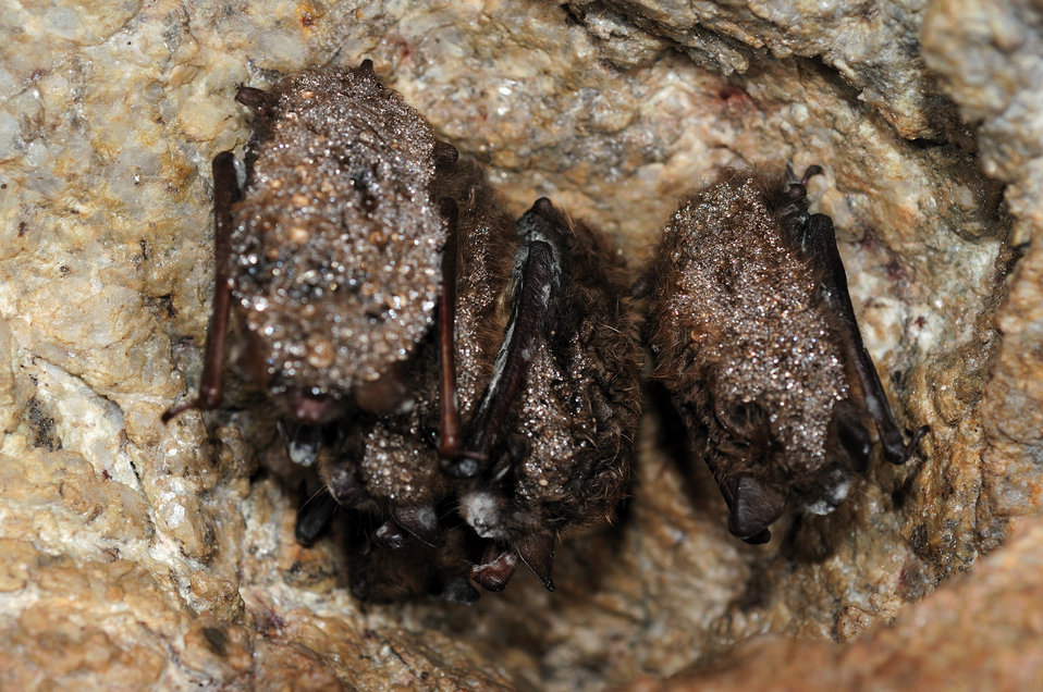 cluster little brown bats with white-nose syndrome