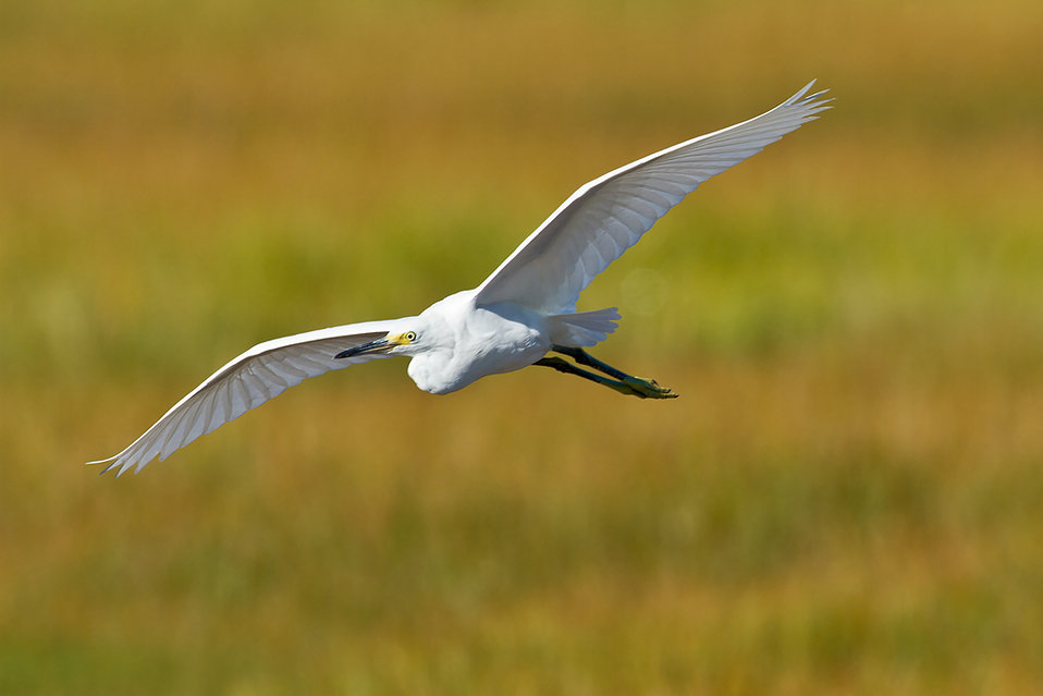 Egret soaring over Rachel Carson National Wildlife Refuge