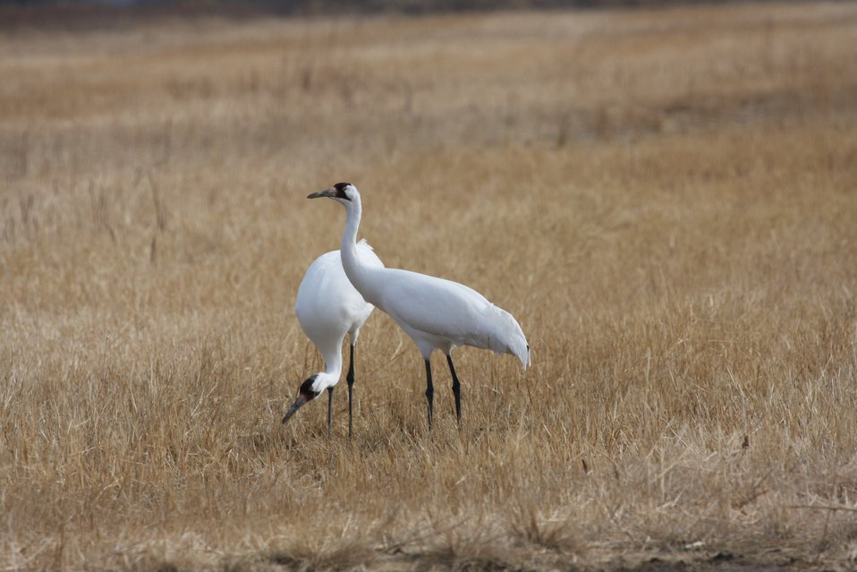 Whooping Cranes at Quivira National Wildilfe Refuge