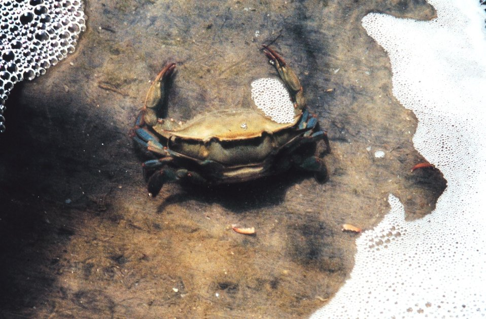 Photo #2 of 8.  Having reached the 'buster' molt stage, a Maryland blue crab , Callinectes sapidus, sheds its shell.  During its lifetime a crab may molt  20 to 25 times, increasing its size as much as 1/4 to 1/3 each time. The genus and species mean t