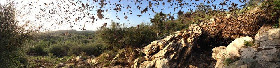 Bats emerging from Davis Cave