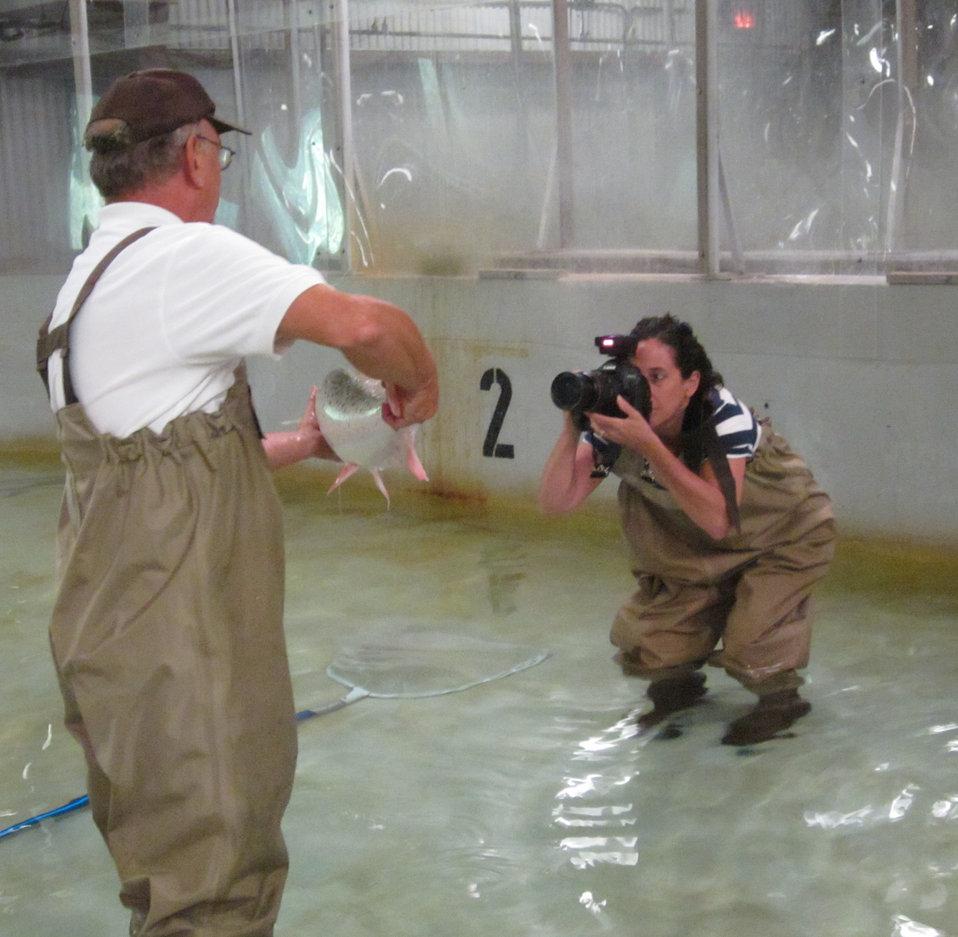 Photographing Atlantic salmon