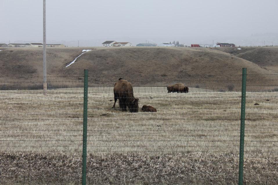Newborn Bison Calf