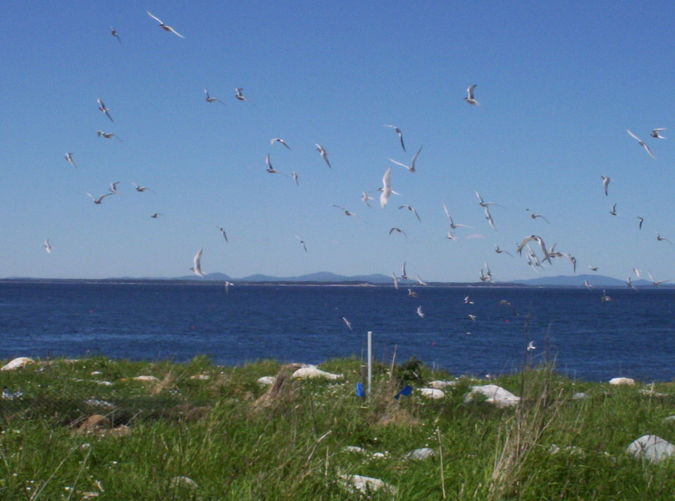 Terns flying over the grass