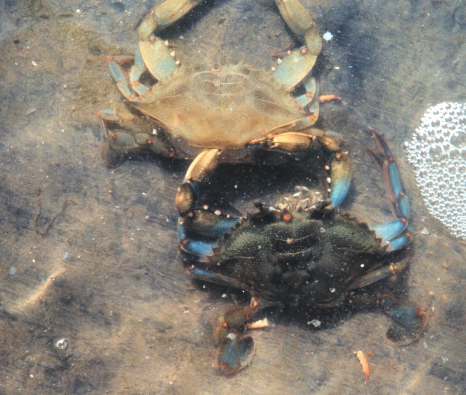 Photo #8 of 8.  Having reached the 'buster' molt stage, a Maryland blue crab , Callinectes sapidus, sheds its shell.  The genus and species mean tasty The genus and species mean tasty beautiful swimmer.