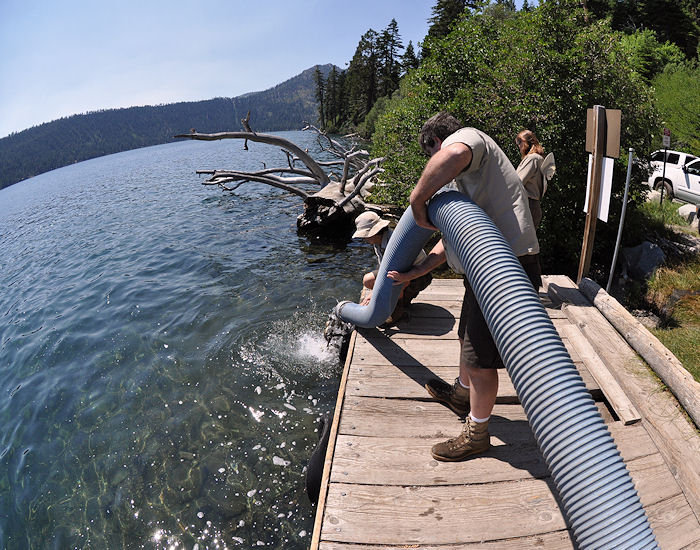 Lahontan cuttroat trout stocking operation