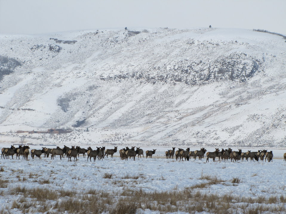 Elk Near East Gros Ventre Butte
