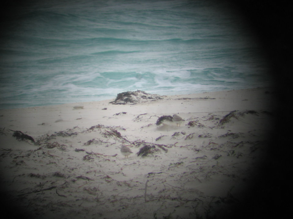 "Piping plovers through spotting scope (""digiscoped"")"