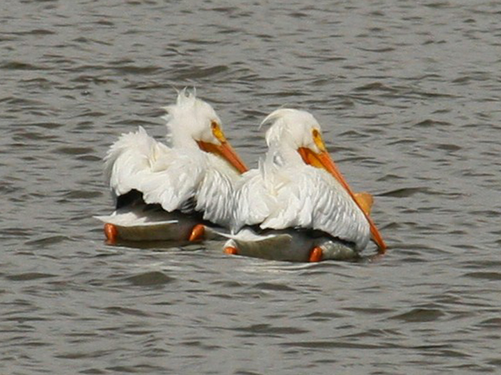 A Pelican Duo