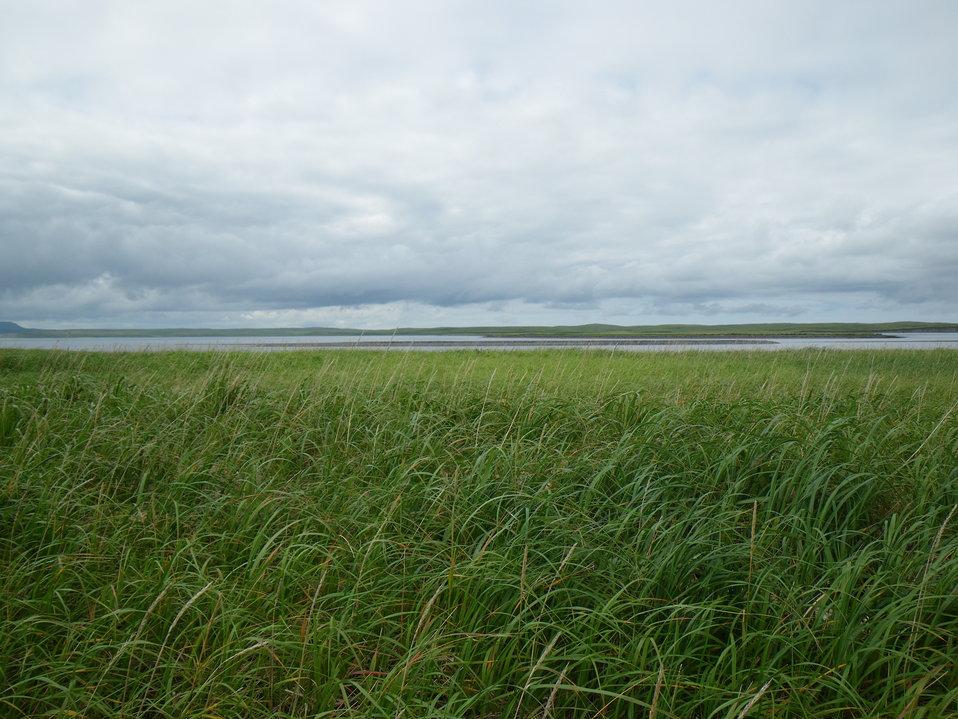 Elymus grass