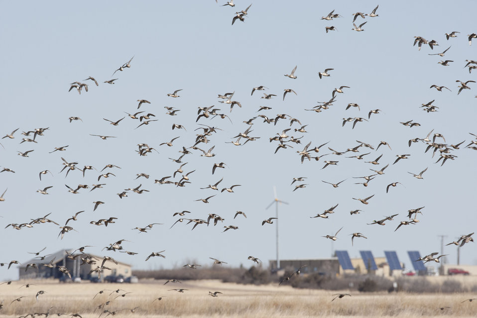 A Flock of Waterfowl Flying Above the Refuge buildings