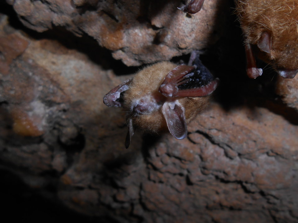 Tri-colored bat with visible symptoms of WNS from Chickamauga and Chattanooga National Military Park, Georgia