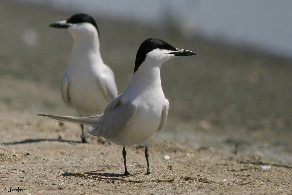 van Rossem's gull-billed tern