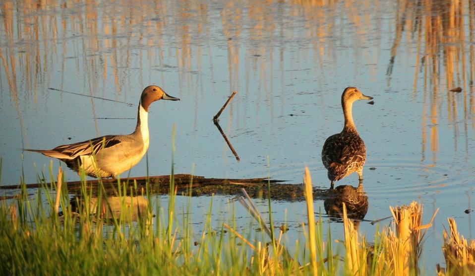 Pintail Drake and Hen on Sand Lake WMD