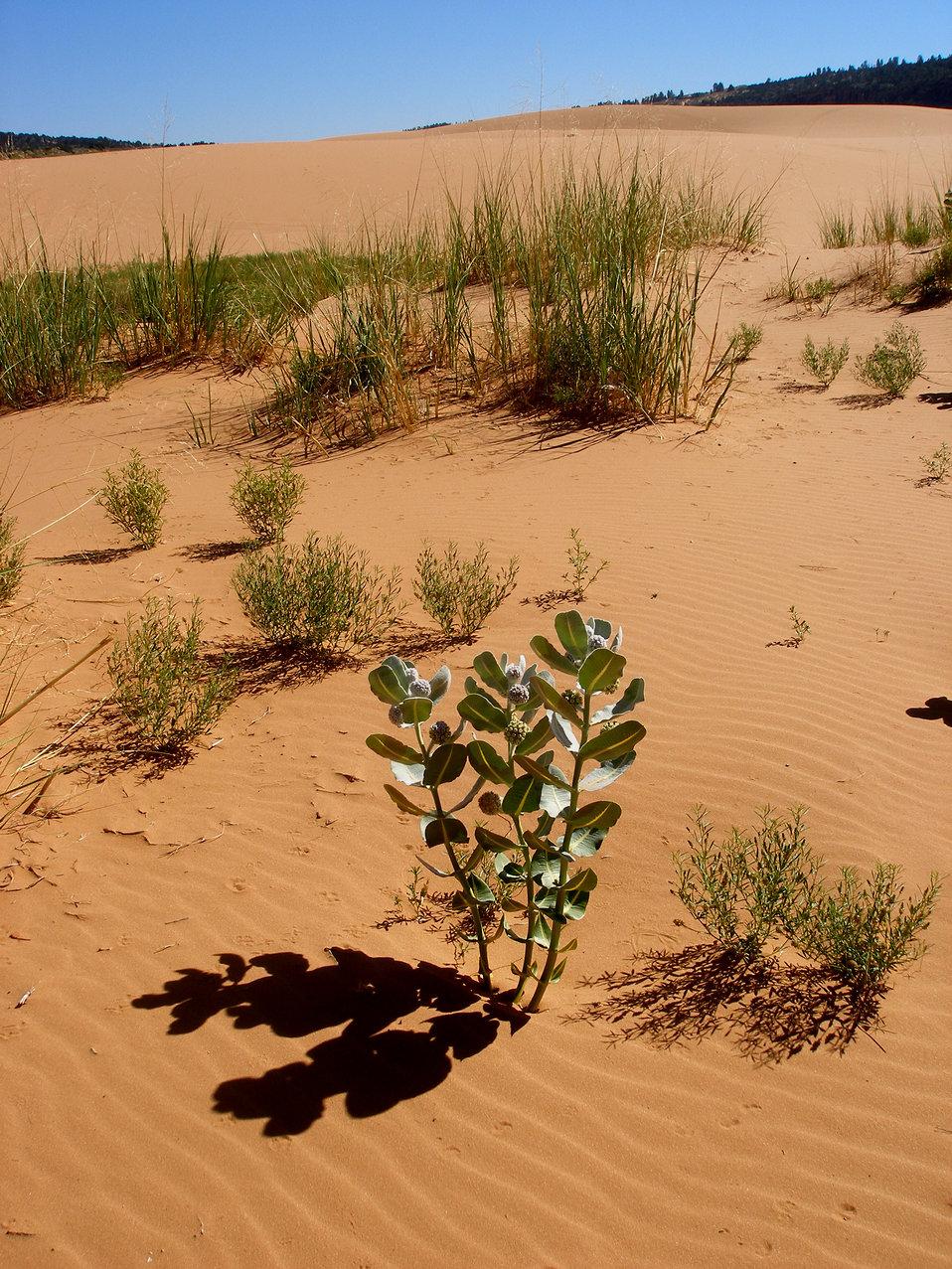 Welsh milkweed (Asclepias welshii) Habitat