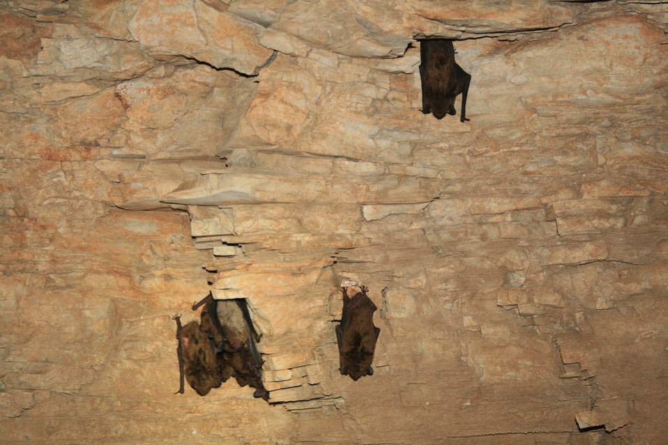 healthy hibernating big brown bats