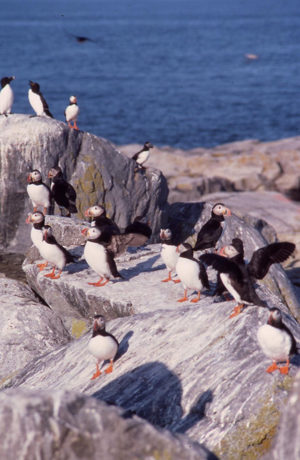 Atlantic Puffins and razorbills on Seal Island