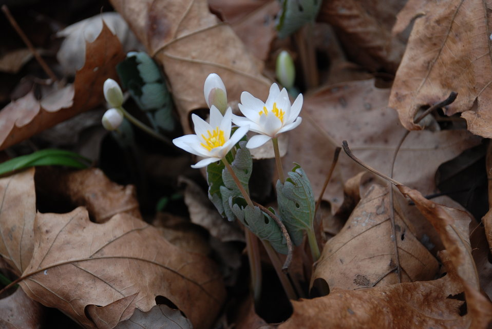 Bloodroot (Sanguinaria candensis)