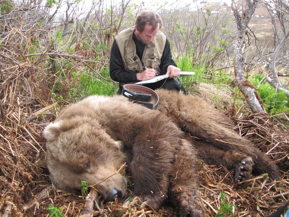 Volunteer Will Deacy collaring a brown bear